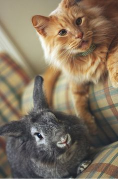 Normal best buddies: a cat and a rabbit