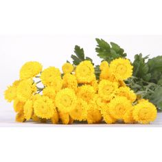 GrowersBox.com: Flowers: Button Poms 18 Bunches: Wholesale Flowers