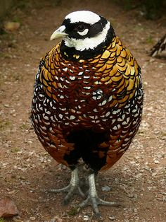 Reeves's Pheasant, Syrmaticus reevesii, is a large (male length 210 cm, female length 75 cm) pheasant within the genus Syrmaticus. It is endemic to evergreen forests of central and eastern China. Where introduced they also inhabit farmland close to woodlands. Their tail grows a foot for every year they are alive.