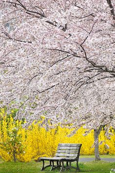 heaven is blooming cherry trees...