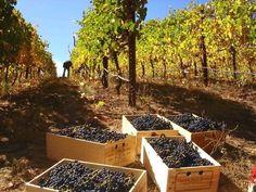 autumn, wine countri, fall harvest, napa valley, napa harvest, valley harvest, wine grape, lets go, crush news