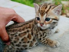 Interesting pictures of Bengal cat