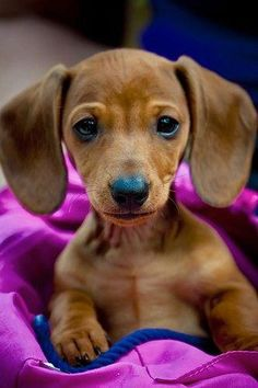 Adorable dachshund puppy. Look at that face!