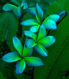 Blue and Green Plumerias color combos, hawaiian flowers, neon green, blue green, color combinations, exotic flowers, garden, green flowers, tropical flowers