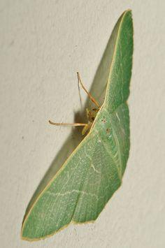 Geometrid Moth (Pelagodes antiquadraria, Geometridae) by itchydogimages, via Flickr
