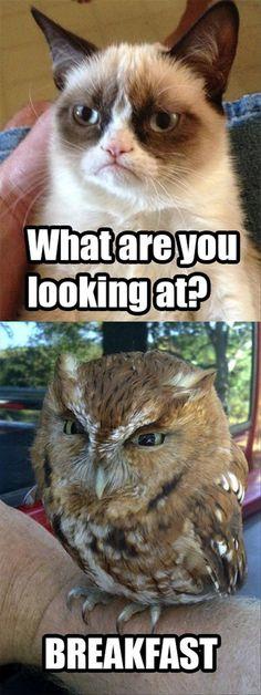 funny grumpy cat, owl