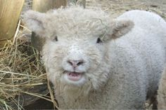 xx..tracy porter..poetic wanderlust...-Olde English Babydoll Southdowns are outstanding pets who produce wool that is a hand spinner's delight.  They provide organic weeding and make excellent companion animals and are also a sound investment opportunity.