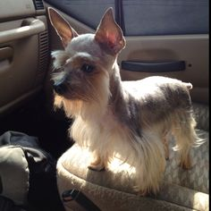 STINKY....YORKIE w/SCHNAUZER CUT Looks like Nikki, he stopped growing hair
