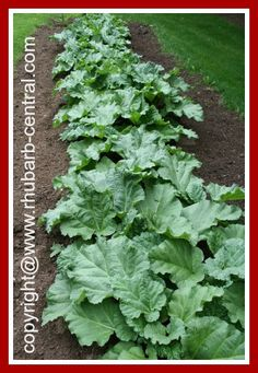 HOW to GROW RHUBARB - EASY!! FRUGAL FOOD IDEA - this veggie is sooo versatile and comes up every year - hardly needs ANY care!