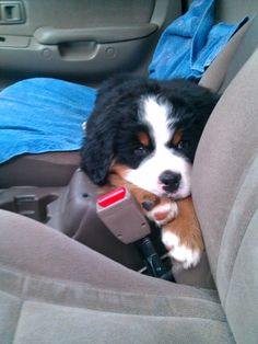 I want to snuggle up to this Bernese Mountain puppy!