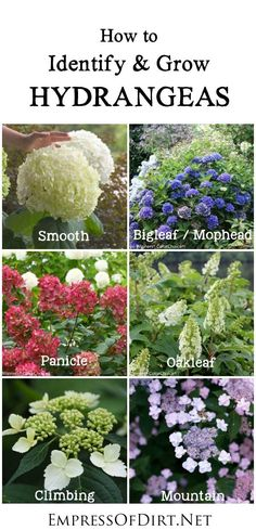Hydrangeas are one of the most beloved plants in our gardens and for good reason???they are gorgeous. Many gardeners have questions about pruning, colour changes (pink or blue), basic care, transplanting, and how to get stubborn ones to bloom. This simple guide describes the 6 basic types of hydrangeas, so you can know which ones you are growing and how to best care for them.