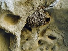 Nest Of Cliff Swallow by Franco Folini on Flickr
