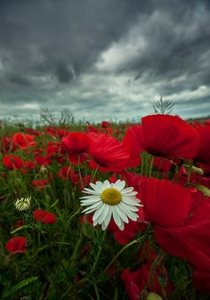 sky, poppy red, red flowers, white, daisies, paint, poppies, flower beds, flower fields