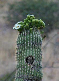 Elf owl in saguaro. Just loved this pic.