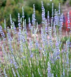 Sweet Lavender: Good in planters, hillside.  Fast growing, great for edible gardens.  Classic.