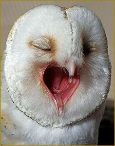 Yawning Owl~