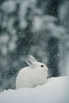 """Snow falls on a snowshoe hare in its winter coat"""