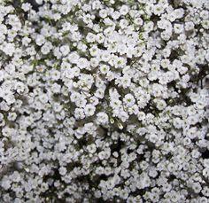 Bulk Baby's Breath - Wholesale Flowers | Filler Flowers | Wholesale Bulk Wedding Flowers at BunchesDirect