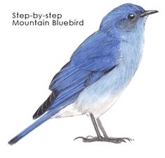 step-by-step how to paint a mountain bluebird
