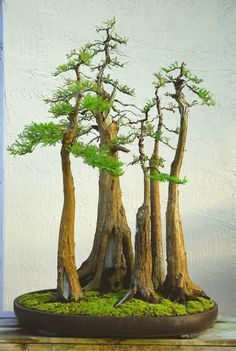 plant, bonsai trees, forests, bonsai forest, bonsai forrest, cypress bonsai, baldcypress, bald cypress, garden