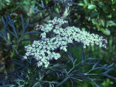 Black Lace elderberry is often suggested as a more cold hardy substitute for Japanese maples. My garden is too warm for this consideration, but the cut leaf elderberry is a pleasant addition to the garden with dark foliage, delightful blooms, and edible fruit.