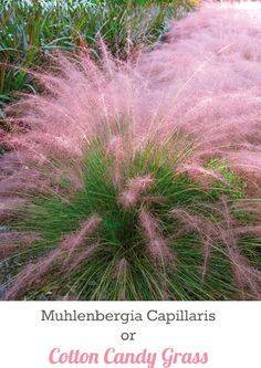 Cotton Candy Grass - Withstands heat, humidity, poor soil and even drought. Very easy to grow, it reaches a mature height of 3-4 feet tall and gets 3-4 feet wide. Grows in all U.S zones. Very pretty!!