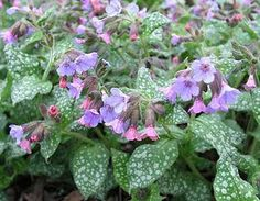 Lungwort - made into a tea for gargling, the leaves are an expectorant, to relieve congestion and ease a sore throat (often mixed with coltsfoot and cowslip flowers).