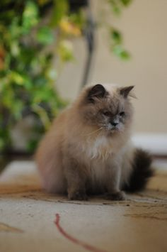 Pictures of Himalayan Cat Breed