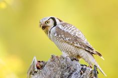 Northern Hawk Owl (Surnia ulula). Photo by Julius Kramer.