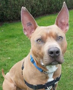 Bronx is a handsome, muscular hunk of love. Click to view this dog's adoption profile