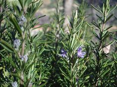 Oil of Rosemary, Science Says May Be Nature's Best Food Preserver & Health Protector