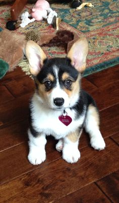 Willow the Pembroke Welsh Corgi! ~10 weeks old.