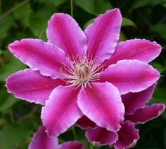floral beauti, clematis, pink clemati, colors, god bless, plants, coolers, the roots
