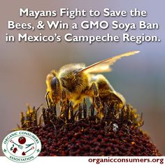 The Mayan communities stated that the planting of GM Soybeans affected the traditional historical practices of the people (beekeeping) and that there was a violation of their right to a healthy environment through the overuse of herbicides and deforestation that GMOs encourage. Learn more: http://orgcns.org/1iEoYhZ