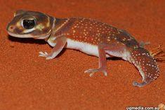 Smooth knob-tailed gecko (Nephrurus levis occidentalis) from western Australia (Photo Stewart Macdonald)