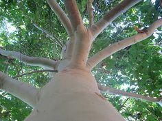 Eucalyptus oil remedies