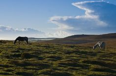 I want to go to an English Moor and walk around as if I am in a Bronte or Austen novel. <3    Bodmin-Moor-horses, England