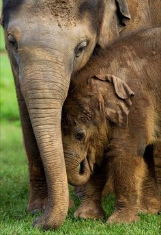 An elephant mother cuddling its fuzzy, baby elephant while they stand in the grass.