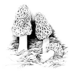 Morels: where to find and what to do with them
