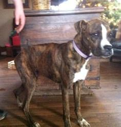 savannah is an adoptable Boxer Dog in Denver, PA. savannah is a sweet loving girl who loves play with kids she is crate trained has been spayed, mirochiped, dewormed, and is up to date on all shots To...