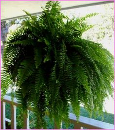 Ferns are Great in Hanging Baskets - Choose a Boston fern for shady spots, a Kimberly Fern for sun.  Keep soil moist not wet.  Mist in late afternoon so the sun doesn't burn their leaves.  If they begin to yellow, help them get their green back by watering with a mixture of 2 tablespoons of Epsom Salt to one gallon of water (tepid-warm).  Use this water mixture every other week.