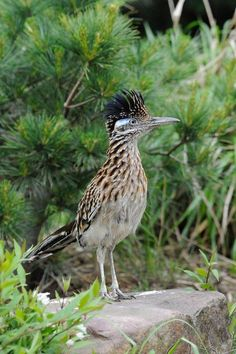 New Mexico's state bird, the roadrunner