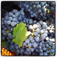Negroamaro grapes... the main grape of #Salento (south of #Puglia) #Italy #vintage2011