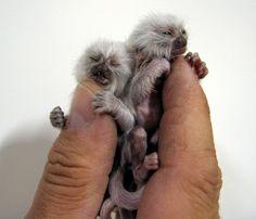 finger monkies!