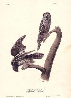 Hawk Owls // John James Audubon