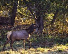 Cow elk looking for calf during 2012 Arkansas elk rut.