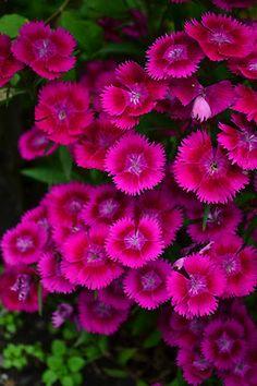 Dianthus (In my current garden) ... [Full sun, USDA 5 to 9, AHS 10, Moderate moisture, Drought tolerant]