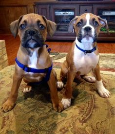 Wrigley and Fenway! #boxerdogs