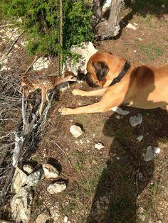 Mastiff making friends with a deer..  #mastiffs #dogs