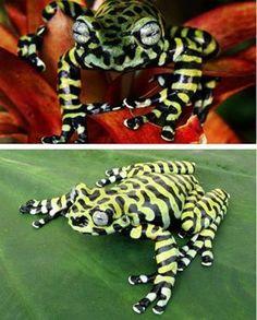 Hyloscirtus tigrinus or tiger frog http://on.fb.me/15HgBPf